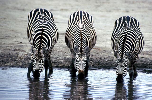 zebra 11 (1)